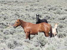 Wild Horses On Toiyabe Crest Trail