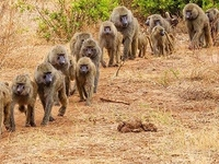 Wildlife Baboon