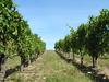 Wirtz Vineyard - OR