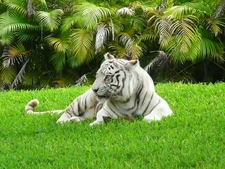 White Bengal Tiger Miami Metro Zoo
