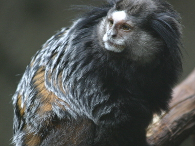 Wied\\\'s Marmoset In Discovery Center