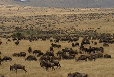 Wildebeest Migration Wildlife Safaris Tanzania