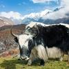 Yak In Langtang Valley