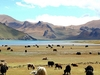 Yaks & Dzos Grazing Beside Yamdrok Lake