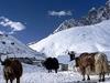 Yaks In Gokyo Beside Dudh Pokhari Lake - Nepal Annapurnas