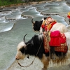 Yaks On Namtso Lake Bank