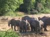 Yankari  Elephants