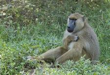 Yellow Baboon In Amboseli NP Kenya
