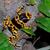 Yellow Banded Frog