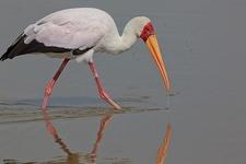 Yellow Billed Stork - Amboseli NP Kenya