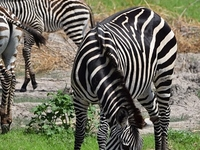 Zebra, Lake Manyara