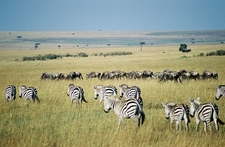 Zebras In The Maasai Mara