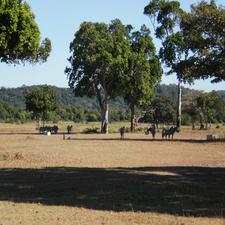 Zebras Run Wild Around The Island