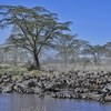 Zebras @ Serengeti In Tanzania