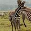 Zebras - Amboseli National Park