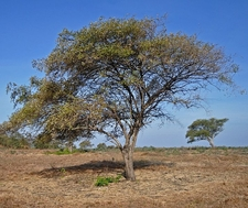 Ziziphus Mauritiana Trees In The Park