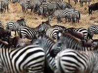 Zebras Leisurely Grazing In The Vast Mara