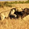 11 DAYS LION SAFARI