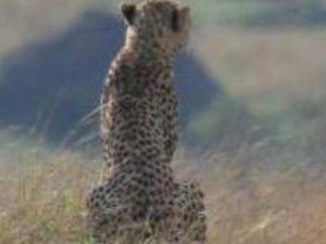 7 Days Cheetah Safari - Kenya Photos