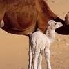 Camel Markt in cairo