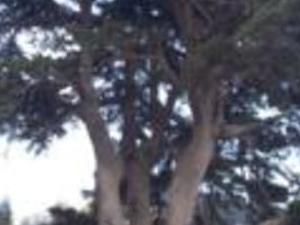 Cedars, Beshare, Kozhaya Photos