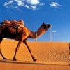 Horse ride or camel ride in Sharm desert