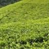 Mitchell's tea farm.