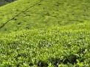 Mitchell's tea farm. Photos
