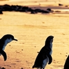 Phillip Island 1 Day Small Group Eco Tour
