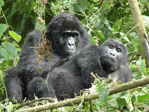 Enjoy Gorilla Trekking Tours (15% Discounts) Photos