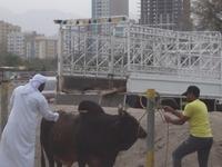 Bull Fighting. Fujairah