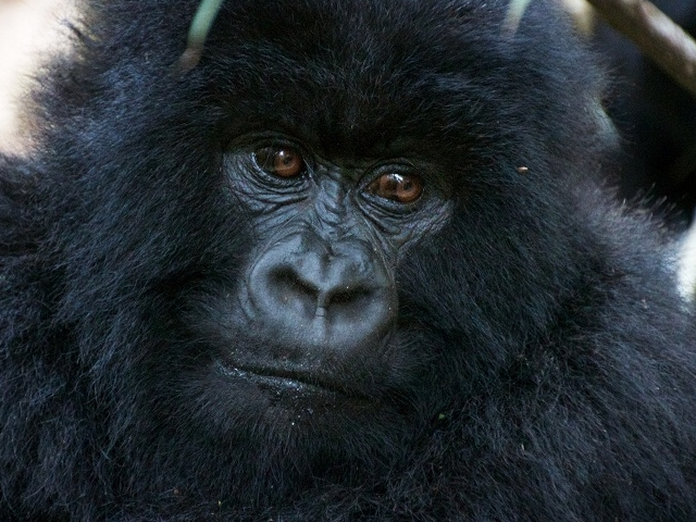 Special Gorilla Trek in the Virunga National Park Photos
