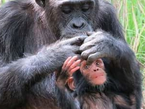 Jane Good All Chimpanzee Trekking-Gombe Stream Ntional Park Photos