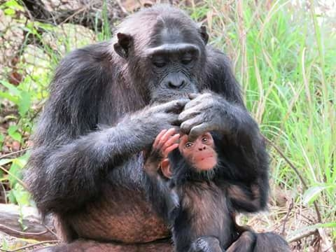 Jane Good All Chimpanzee Trekking-Gombe Stream Ntional Park Photos
