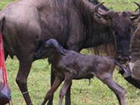 Wildebeest Calving Season Safari