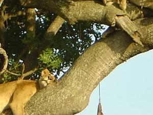 Gorilla and Tree Climbing Lions Fotos