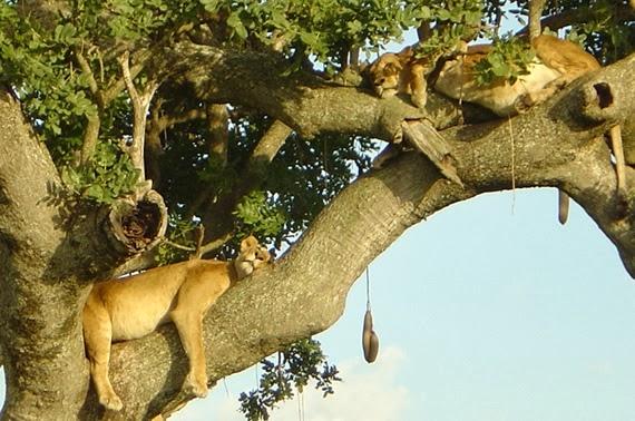 Gorilla and Tree Climbing Lions Photos