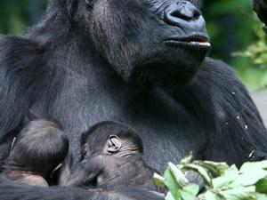 Gorilla Trekking & Uganda Wildlife Safari Fotos