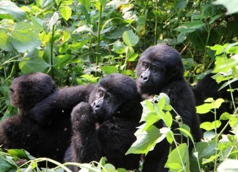 3days gorilla tracking in bwindi forest uganda Photos