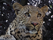 Leopard In The Tree, Close Up.