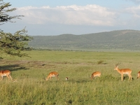 Wildlife Safari Masai Mara,small Group Safaris Kenya,kenya Safaris,kenya Budget Safaris,kenya Camping Safaris,kenya Adventure Safaris,yha Kenya Travel