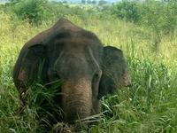 Udawalawa Elephant Sri Lanka