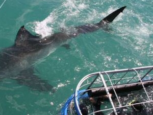 Shark Diving in Gansbaai