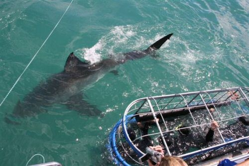 Shark Diving in Gansbaai Photos