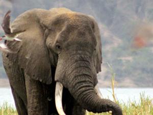 Uganda Safari, Chimp and Gorilla Trekking Photos