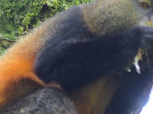 Golden Monkey Tracking Photos