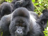 Gorilla Express Tour