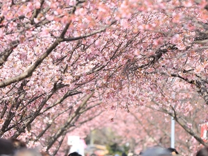 Japanese Cherry Blossom Season Tour Photos
