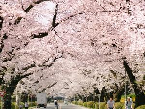Japan Cherry Blossom Tour Fotos