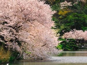 Cherry Blossom Japan Tour - 7 Days Fotos